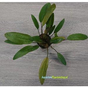 Echinodorus Reni XL