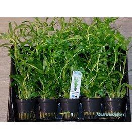 Heteranthera Zosterifolia 5x