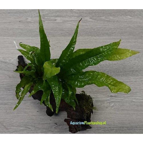 Kienhout Small met Microsorum