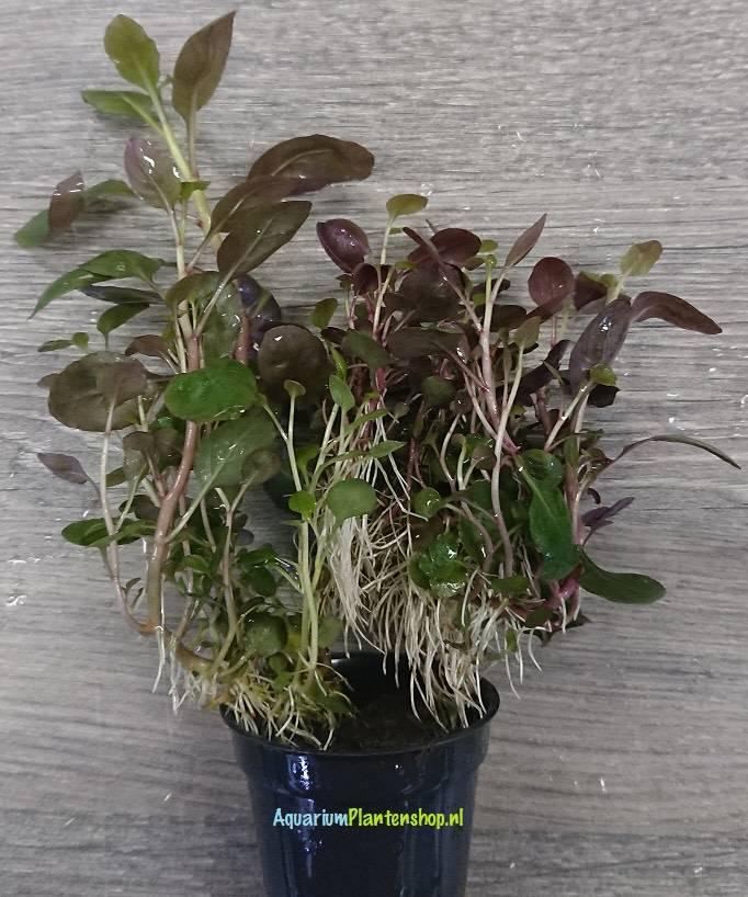 lobelia cardinalis mini aquariumplanten stengelplant. Black Bedroom Furniture Sets. Home Design Ideas