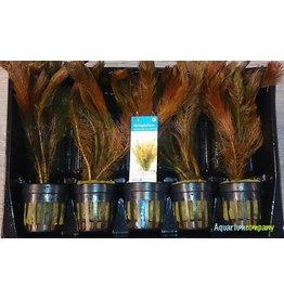 Myriophyllum Mattagrossense 5x