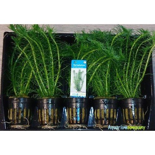 Myriophyllum Propinquum 5x