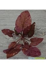 Nymphaea Zenkeri - Rood