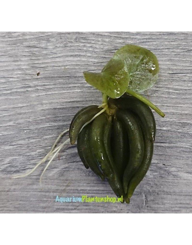 Nymphoides Aquatica 'Bananenplant'