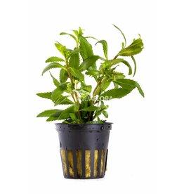 Proserpinaca Palustris Cuba 5x