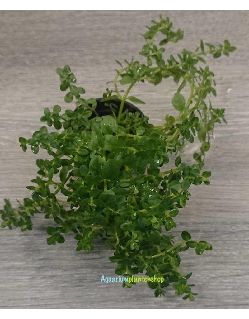 Rotala species Green