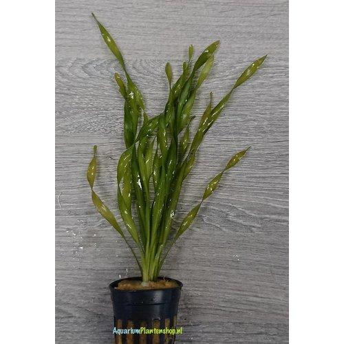 Vallisneria Asiatica