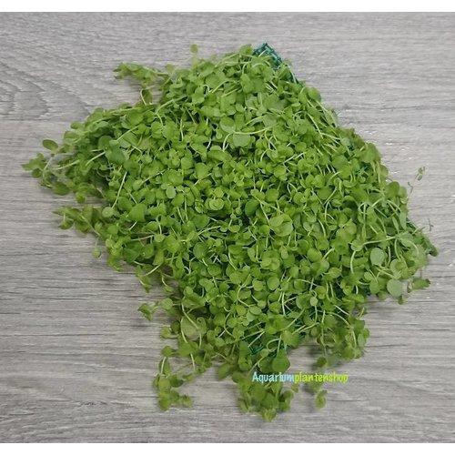 Micranthemum Umbrosum op mat 10 x 15 cm