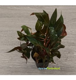 Ludwigia Perennis Red