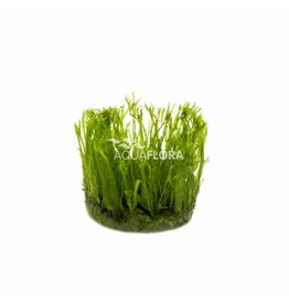 Vesicularia Reticulata Erect Moss - In Vitro