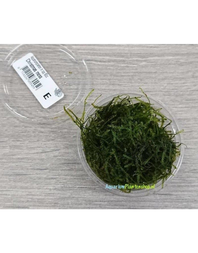 Vesicularia 'Christmas Mos'