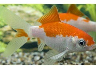 Koudwatervissen
