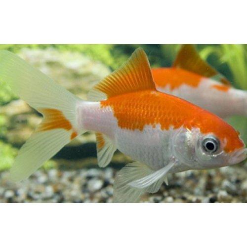 Voorraadlijst vijvervissen