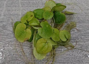 Drijfplanten