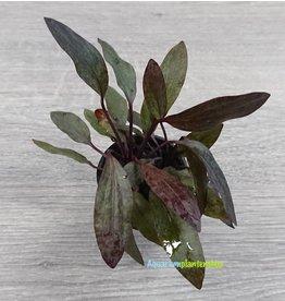 Echinodorus Little Mystery