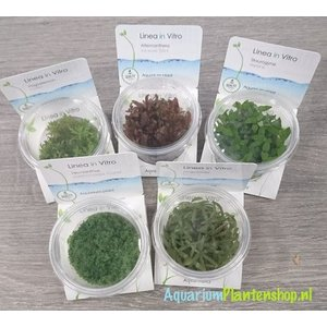 In-Vitro Aquariumplanten Mix