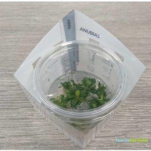 Ecoscape Anubias Barteri var. 'Bonsai' - In Vitro