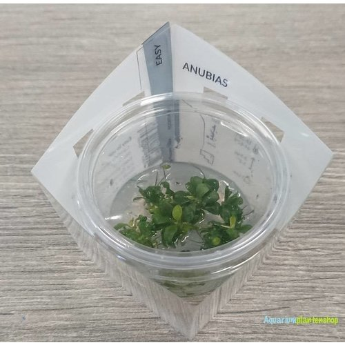 Anubias Barteri var. 'Bonsai' - In Vitro