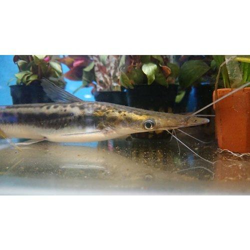 Voorraadlijst Roofvissen