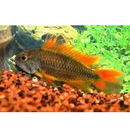 Apistogramma Cacatuoides 'Orange'