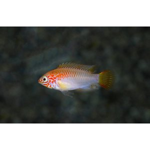 Apistogramma Viejita Gold-Red