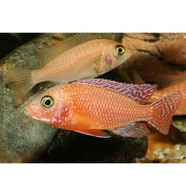 Aulonocara Fire Fish XL