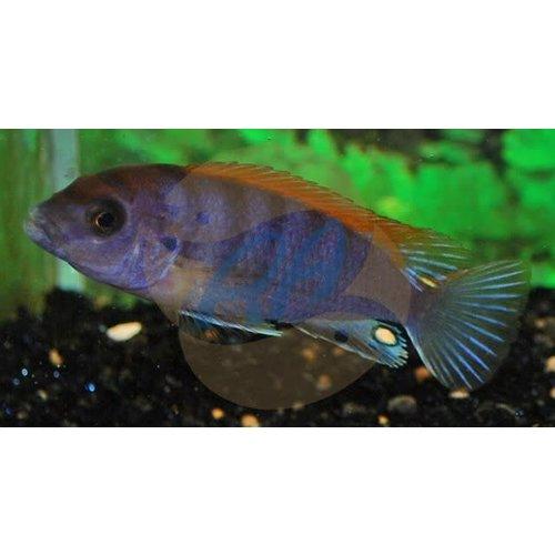 Labidochromis Sp. Hongi Super Redtop