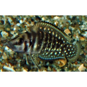 Altolamprologus Calvus Black