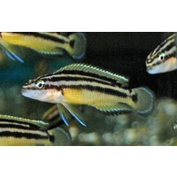 Julidochromis Ornatus Yellow