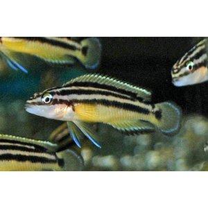 Julidochromis Ornatus Yellow