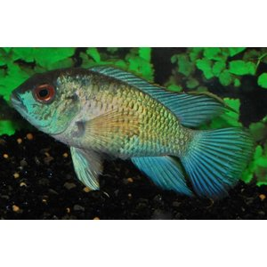 Blauwe Acara 'Electric Blue'