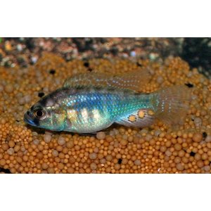 Astatotilapia Burtoni Red Spotted