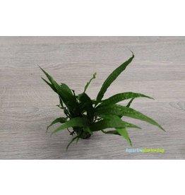 Microsorum Narrow Leaf