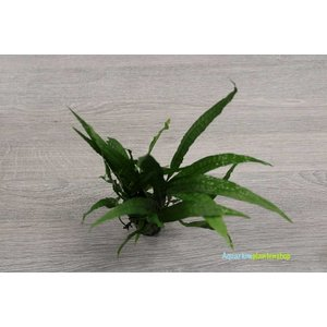 Microsorum Narrow Leaf