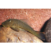 L187B Chaetostoma Formosae