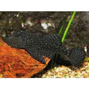 Ancistrus Leucostictus 3-5 cm