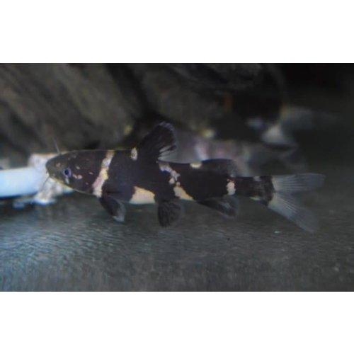Leiocassis Siamensis