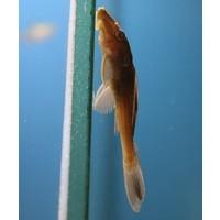 Hypostomus Plecostomus Goud