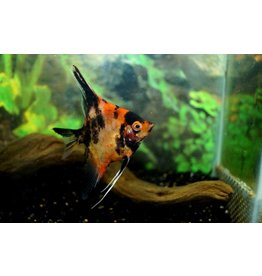 Maanvis Koi Red King M/L