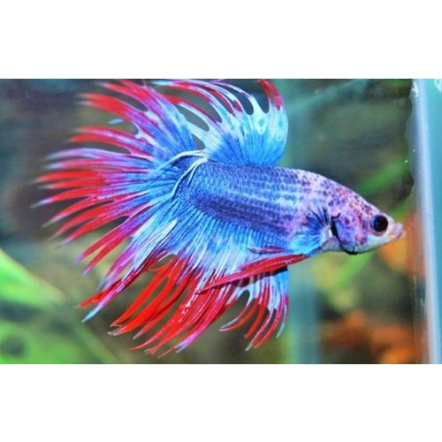 Betta Splendens Thai Flag