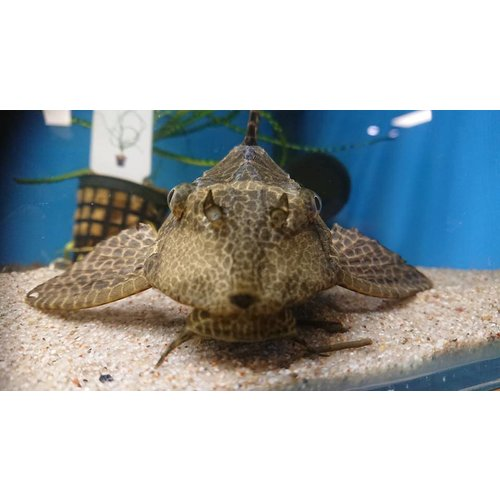 L165 Glyptoperichthys Gibbiceps XL