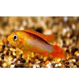 Apistogramma Agassizii 'Fire Fish'