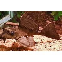 Glyptoperichthys sp. Crocodile