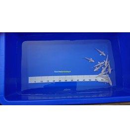 Koi Tosai Platina 12-15 cm