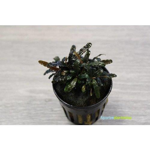 Bucephalandra Caterina