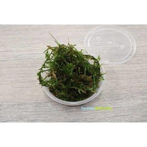 Taxiphyllum Barbieri Javamos - In Cup