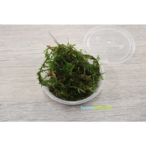 Taxiphyllum Barbieri Javamos