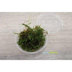 Vesicularia Dubyana - In Cup
