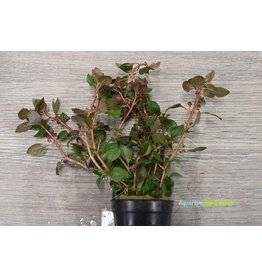 Ludwigia Palustris Red