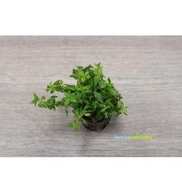 Limnophila sp. Vietnam 'Mini'